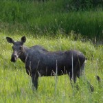 Moose cow and calf along the trail